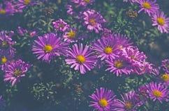 Amellus di fioritura dell'aster dei cespugli Immagini Stock Libere da Diritti