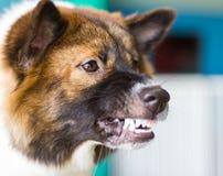 Amenazas de la cara del perro del gruñido Imágenes de archivo libres de regalías