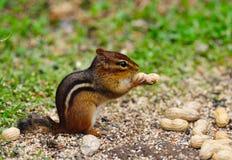 Amendoim de Earing do Chipmunk imagens de stock royalty free
