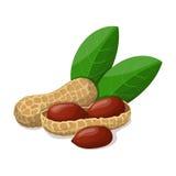 Amendoins com as folhas no branco Fotos de Stock