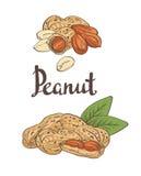 Amendoins, núcleos e folhas ilustração do vetor