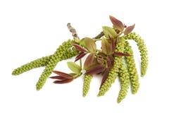 Ament et feuilles de noix Images stock