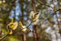 Amentilhos de florescência álamo e salgueiro próximos acima em um fundo da floresta da natureza Primeiro botão no ramo na mola, p Fotos de Stock Royalty Free