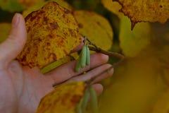 Amentilhos do vidoeiro no dia do outono fotografia de stock royalty free