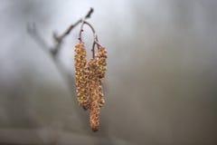 Amentilhos em uma árvore de amieiro Imagem de Stock