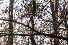 Amento del sauce en el árbol Fotografía de archivo libre de regalías