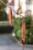 Amento del sauce en el árbol Foto de archivo libre de regalías
