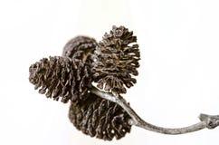 Amento negro del árbol de aliso en fondo brillante Foto de archivo libre de regalías