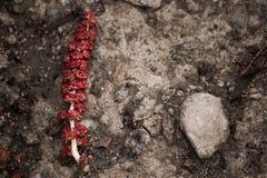 Amento rojo en la primavera Foto de archivo libre de regalías