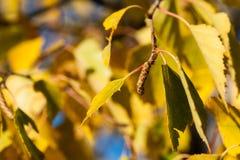 Amento y hojas del árbol de abedul en otoño Imagen de archivo