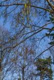 Amentos abiertos del abedul contra el cielo azul, en primavera temprana fotografía de archivo