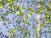 Amentos del árbol de abedul y hojas de los jóvenes en rama con la macro del fondo del bokeh, DOF bajo, foco selectivo Fotografía de archivo libre de regalías