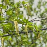 Amentos del árbol de abedul y hojas de los jóvenes en rama con la macro del fondo del bokeh, DOF bajo, foco selectivo Fotografía de archivo