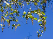 Amentos del árbol de abedul y hojas de los jóvenes en rama con la macro del fondo del bokeh, foco selectivo, DOF bajo Fotografía de archivo libre de regalías