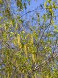 Amentos del árbol de abedul y hojas de los jóvenes en rama con la macro del fondo del bokeh, foco selectivo, DOF bajo Imágenes de archivo libres de regalías