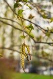 Amentos del árbol de abedul y hojas de los jóvenes en rama con la macro del fondo del bokeh, foco selectivo, DOF bajo Fotos de archivo