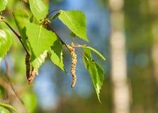 Amentos del árbol de abedul y hojas verdes frescas Fotografía de archivo libre de regalías