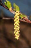 Amentos del abedul de la primavera Foto de archivo libre de regalías