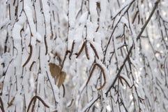 Amentos del abedul debajo de la nieve Imágenes de archivo libres de regalías