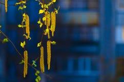 Amentos del abedul en el sol Foto de archivo libre de regalías