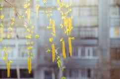 Amentos del abedul en el sol Foto de archivo