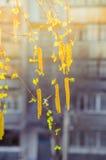 Amentos del abedul en el sol Imagen de archivo