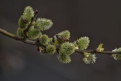Amentos en primavera Foto de archivo