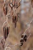 Amentos en un árbol en otoño Foto de archivo