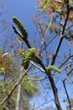 Aments de noix contre le ciel Image libre de droits