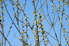Amentum of willow. Willow branches with buds on a background of blue sky. Early spring. Location - Polish village royalty free stock photos
