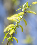 Amentum of willow Royalty Free Stock Image