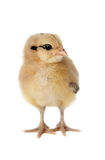 Ameraucana Chick. Baby Ameraucana chick on isolated background. Focus is on the chick's face, with a shallow depth of field blurring the feet and back feathers stock photos