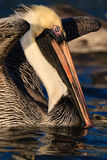 Amerian brown pelican about to spread wings to fly Stock Photos