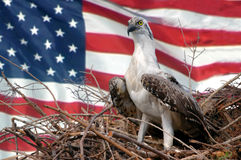 America. A young eagle in its nest with the flag of the USA as background Royalty Free Stock Photo