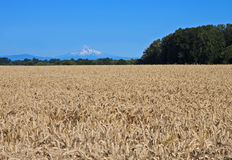 America the beautiful. Grain field, Sauvie Island, Oregon, with distant Mt. Hood royalty free stock photography