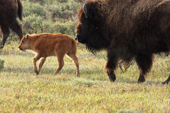 America Bison Calf and Cow. A Wild America Bison Calf and Cow Stock Photos