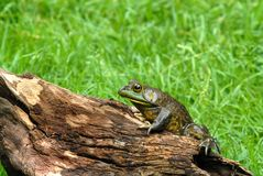 America bullfrog on log. Camouflaged American bullfrog on log, grass in background Stock Image