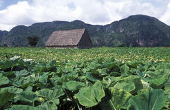 AMERICA CUBA VINALES. The landscape near the village of Vinales on Cuba in the caribbean sea Stock Photography