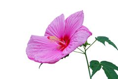 America hibiscus flower Stock Photo
