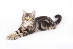 America shorthair Cat. An America shorthair cat is giving a stretch stock image