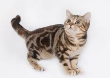 America shorthair Cat Royalty Free Stock Photos