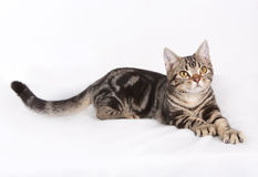 America shorthair Cat. What? you want to pick a fight royalty free stock images