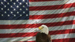 American. This is an actual photograph taken of an Eagle in front of the American flag Stock Photos