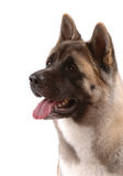 American Akita Royalty Free Stock Images