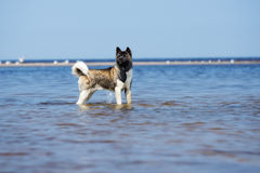 American akita dog on a beach Royalty Free Stock Photography