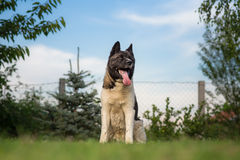 American akita dog Stock Photo