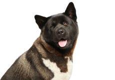 American Akita dog head on white background Royalty Free Stock Photo
