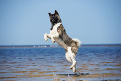 American akita dog jumps on a beach Royalty Free Stock Photos