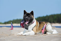 American akita dog lying down on a beach with flags Stock Photo