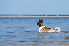 American akita dog lying in the water Royalty Free Stock Photos